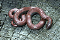 Common Sharp-tailed Snake