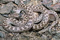 Northern Desert Nightsnake