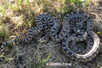 Great Basin Gopher Snakes