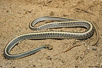 Desert Patch-nosed Snake
