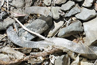 Variable Groundsnake shed