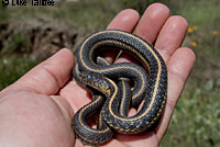 Oregon Gartersnake