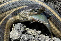 Giant Gartersnake hunt