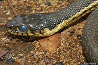 Two-striped Gartersnake