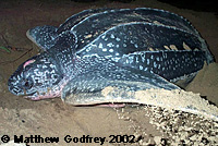 Leatherback on beach covering her eggs