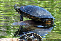 Pacific Pond Turtle